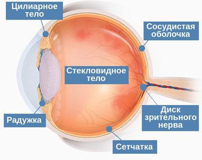структуры глаза