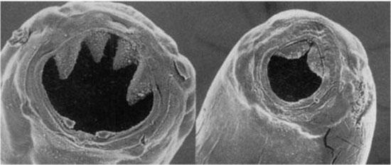 рот у гельминтов