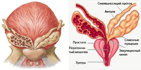 половые органы у мужчин