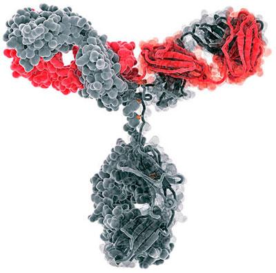 модель иммуноглобулина